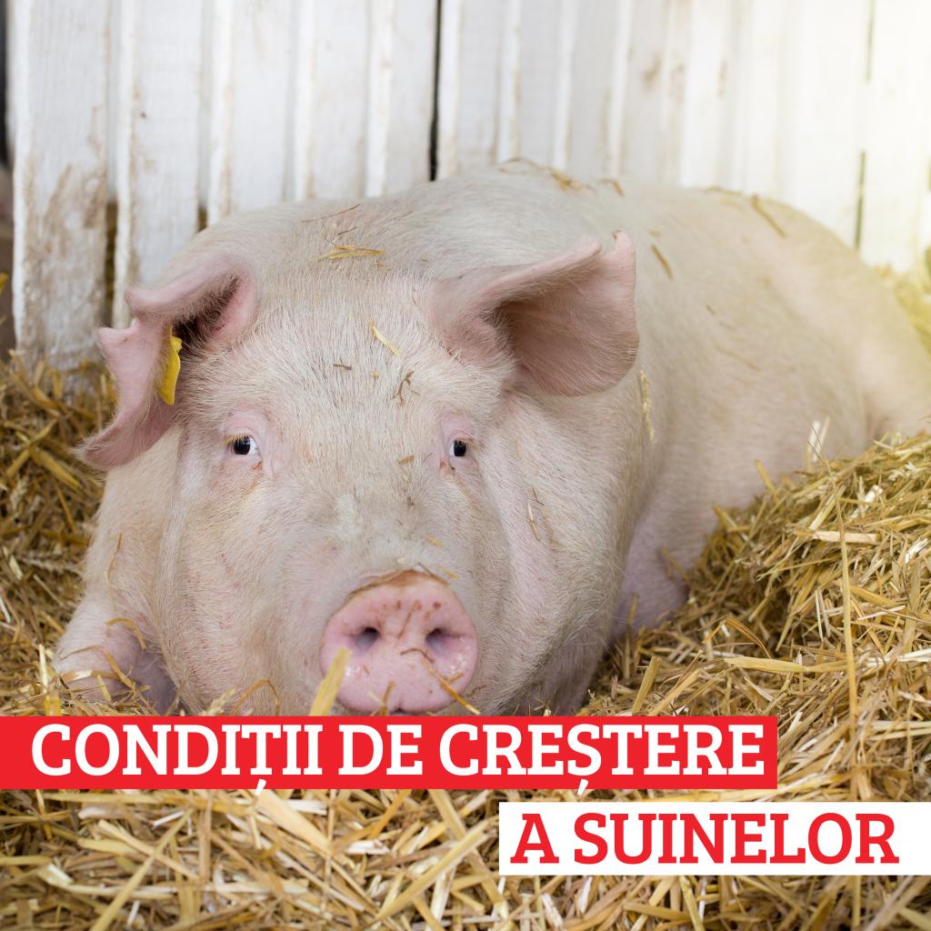 Cum se calculează, de fapt, greutatea unui porc fără a avea un cântar la îndemână - IMPACT